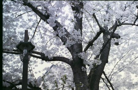 2015sakura_002