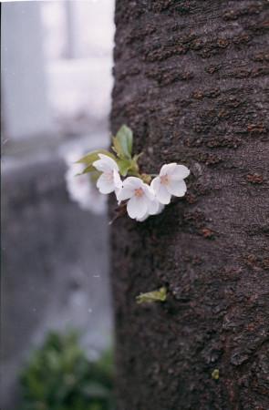 2015sakura_003